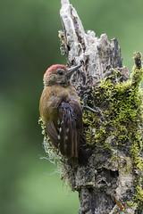 Smoky-brown Woodpecker (fernaabs) Tags: smokybrown woodpecker picoides fumigatus carpintera carpinterillo carpinteropardo piciformes picidae aves fernaabs burgalin avesdecostarica