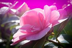 Freelensing my Camellia (judy dean) Tags: garden spring flowers 2018 judydean camellia freelensing pink flare
