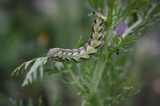 Cucullia calendulae.  Por el tamaño que tiene esta bonita oruga pronto pasará a ser una mariposa nocturna ( polilla ) bastante común por mi tierra.