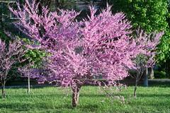 flowering Cercis siliquastrum (uiriidolgalev) Tags: flowering cercis siliquastrum
