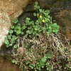 Plants on the moist, shady undersides of sandstone ledges. (openspacer) Tags: cliff lospadresnationalforest mimulus monkeyflower montereycounty phrymaceae sandstone vegetation