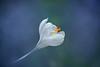 Sign of Spring (lfeng1014) Tags: crocus signofspring flower macro macrophotography flowermacro closeup bokeh dof depthoffield canon5dmarkiii ef100mmf28lmacroisusm light lifeng