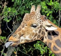 Smurf Tongue (Darts5) Tags: giraffe giraffehead giraffes animal mammal upclose 7dmarkll 7d2 7dmarkii 7d2canon ef100400mmlll closeup canon7d2 canon7dmarkii canon7dmarkll canon canonef100400mmlii