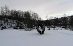 Where is spring?? (KvikneFoto) Tags: vinter winter snø snow bobkatt katt cat leicax1
