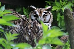 Hibou strié (fauneetnature) Tags: hibou hiboustrié owl oiseaux ornithologie ornithology oiseau domainedesfauves