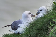 Fulmar - In love (kc02photos) Tags: fulmar fulmarusglacialis bemptoncliffs yorkshire england uk birdphotography
