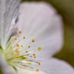 Cherry Blossom detail thumbnail