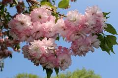 Grugapark (Eichental) Tags: essen frühling gruga grugapark kirschblüte