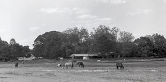Pasture and Stable (Neal3K) Tags: bw blackandwhite d76developer fpp200film filmphotographyproject henrycountyga georgia iccd2018 horses stable filmgrain