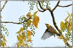 Cape may Warbler (RKop) Tags: magrishriversidepark cincinnati ohio raphaelkopanphotography d500 nikkor600f4evr 14xtciii handheld warblers warbler