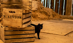Linton the black cool cat (Marty Bisson) Tags: cat kitty barn pet pets animals