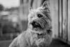Furry friend (Niaic) Tags: dog dogs pet pets portrait furry fluffy canine garden outdoor outside domestic animal pooch cairnterrier terrier cairn monochrome blackandwhite cute