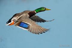 A burst of color (Earl Reinink) Tags: duck waterfowl color mallardduch earlreinink sky animal water bird