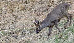 Roe Deer (quanuaua) Tags: ifttt 500px herbivorous herbivore animals roe deer wildlife mammal animal wild fauna outdoors forest capriolo male pics photos photography nature photo alps livigno spring crocus