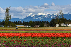 Tulips of the Valley Festival (SonjaPetersonPh♡tography) Tags: tulips tulip tulipfestival tulipsofthevalleyfestival tulipsofthevalley chilliwack bc britishcolumbia scenic scenery landscape mountainlandscape flowers mountains peaks canada tulipfields