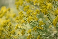 Basket of gold. (agnieszka.a.morawska) Tags: macro dof bokeh beyondbokeh bokehlicious bkhq helios44m helios nature kwiaty wiosna smagliczka flower spring
