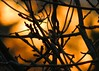 28Mar18 Golden Glow (Daisy Waring World) Tags: sunsetcolours branches gold goldenlight