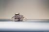 ネコハエトリ(雌) / Carrhotus xanthogramma (March Hare1145) Tags: insect 虫 蜘蛛 spider 日本 japan