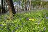 WORCESTERSHIRE WOOD (midlander1231) Tags: bluebells bluebellwoods woods forests forest woodland midlands westmidlands worcestershire town towns spring nature