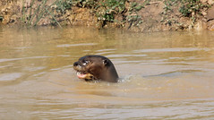 285. Giant otter (1000 Wildlife Photo Challenge) Tags: otter giantotter amphibian animal mammal zoo wildlife wildlifephotography nature water yorkshirewildlifepark