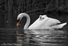 Swan with baby (basminke) Tags: swan young baby zwaan jong cute schattig cutie