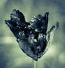 Black Swan (Katrina Wright) Tags: dsc7903 tulip black texture droplets macro spring swan blackswan monochrome bw nb hss sliderssunday