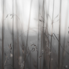 Fragile - Series 1 (KromOner) Tags: kromoner art design minimal dark nature silent solitude silence mood atmosphere quiet sunset canon austria vegetation grass fragile plants