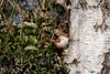 Red squirrel (Jens Hyldstrup Larsen) Tags: egern redsquirrel sciurusvulgaris sciurusvulgarisfuscoater gnavere rodentia sciuridae