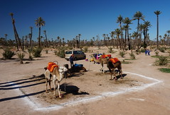 Camels in the Palmeraie, Marrakech, Morroco (mattk1979) Tags: marrakech morroco arab northafrica sun outdoors sky clouds city buildings old historic camels palmeraie