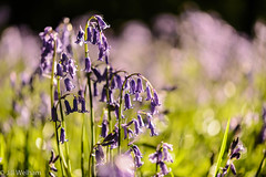 Bluebells and Bokeh (Mirrored-Images) Tags: bluebells bokeh closeup flora northyorkshire wildflowers