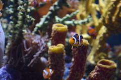 Clownfish (Adventurer Dustin Holmes) Tags: 2018 wondersofwildlife nemo clownfish fish amphiprioninae anemonefishanimalia chordata actinopterygii perciformes pomacentridae tropical saltwater