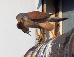 Kestrel (erichitchensd15) Tags: kestrel bird prey wildlife vole