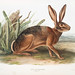 Californian Hare (Lepus californicus) from the viviparous quadrupeds of North America (1845) illustrated by  John Woodhouse Audubon (1812-1862)