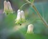kopfüber - Polygonatum multiflorum (uhu's pics) Tags: fujifilm fuji fujinon mcex11 macro makro natur nature blumen flowers käfer beetle weisswurz vielbütige waldweisswurz polygonatum multiflorum vielblütigessalomonssiegel