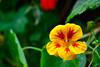 Hibiscus (TheseusPhoto) Tags: beautyinnature beautiful colors colorsoftheworld flowers flowering flower nature natureporn naturephotography sanfrancisco california hibiscus macro
