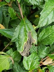 Wedelia: Blotch miners (Plant pests and diseases) Tags: wedelia botch miners leaf leaves feeding injury black spots