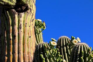 Busy Bird On Saguaro Cactus <<>> IMG_6523 - Version 2