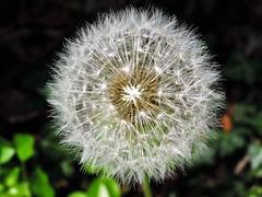 Un classico (maurizio.pretto) Tags: fiori prati verde primavera sole