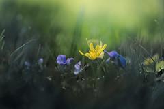 Live every moment (Howard L.) Tags: buttercup fe90mmf28macrogoss ilce7m3 qbg queensbotanicalgarden sonya7iii light grass