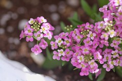 pink flowers (packofhuskies) Tags: little pink flowers blossoms stevenscoolidgeplace northandoverma spring
