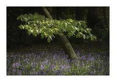 Slant (Sandra Draper) Tags: tree d7100 rufford nottinghamshire bluebells