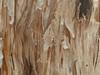 spiny bark mantid (CaroKelly7) Tags: mantid