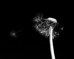 Dandelions let loose (PDKImages) Tags: dandelion dandelions nature wildlife dandelionclock flower weed seeds outdoors drifting letloose free sky plant plantlife plants macro macronature macrowildlife monochrome