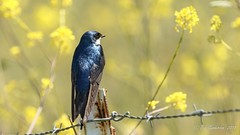 Tree Swallow (Bob Gunderson) Tags: alamedacounty birds california eastbay garinregionalpark northerncalifornia swallows tachycinetabicolor treeswallows coth coth5