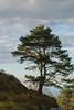 Pino (Oscar F. Hevia) Tags: pino árbol cielo nubes pinetree tree heaven clouds asturias asturies elfito españa paraísonatural principadodeasturias principalityofasturias spain caravia es naturalparadise