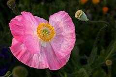 Pretty Pink Poppy - 051418-082740 (Glenn Anderson.) Tags: flowers poppy macro closeup nature spring pollon petal stigma style pistil anther filament pink bud