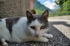Street friend (supermandrin1) Tags: cat gato friendly pets amigo mascotas italy italia venzone alpes alps fotografía photography