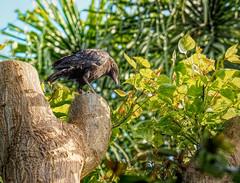 P5182351 (Sunset Beach Buzz) Tags: em1markii olympus buzzfotoz blackbird crow raven