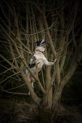 Aboreal Oddity (JJFET) Tags: littledoglaughedstories border collie dog sheepdog