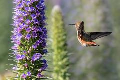 Flying Away (Patricia Ware) Tags: allenshummingbird birdsinflight california canon ef400mmf4doisiiusmlens handheld playadelrey selasphorussasin httppwarezenfoliocom ©2016patriciawareallrightsreserved losangeles unitedstates us specanimal